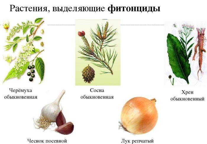 Фитонцидные и другие растительные антибактериальные препараты
